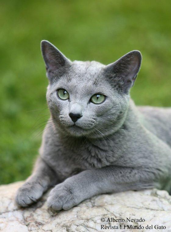 British Blue Cat Vs Russian Blue