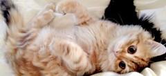 Siberian_Kitten7
