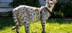kopi-f1-savannah-cat-f1hybrids-14