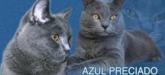 Chartreux-AZUL-PRECIADO_126329_image
