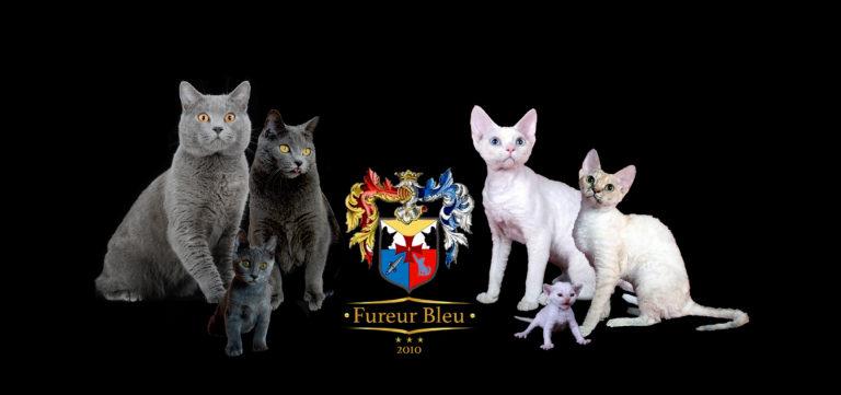 Fureur Bleu Top Cat Breeders