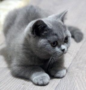 Posh Pet - Top Cat Breeders